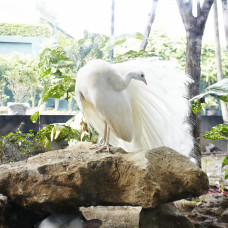 White Indian Peacock