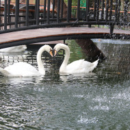 The Swans at The Gardens